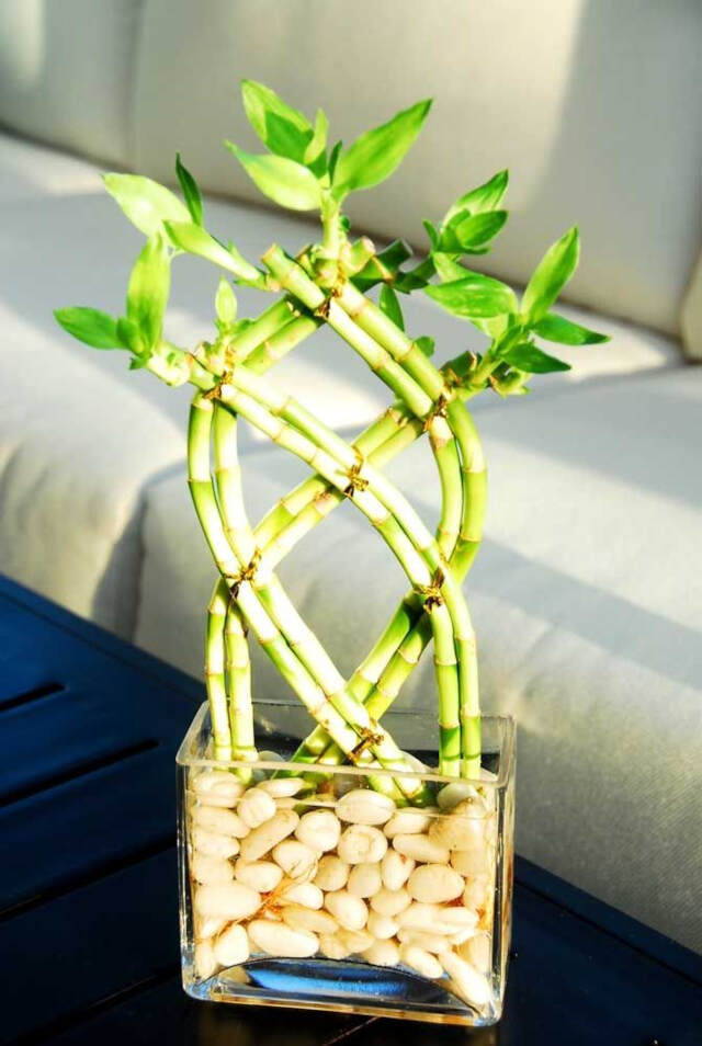 lucky bamboo how to care