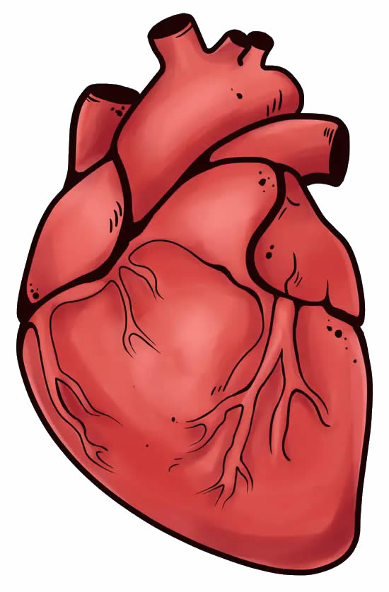 Realistic heart design